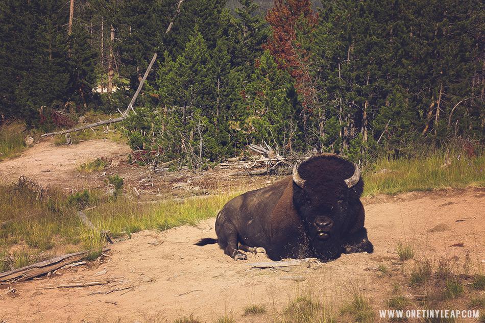 bison_Lres